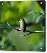 A Hummingbird Rests Acrylic Print