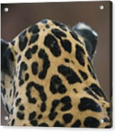 A Jaguar At Omahas Henry Doorly Zoo Acrylic Print