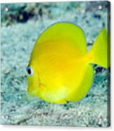 A Juvenile Blue Tang Searching Acrylic Print