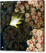 A Juvenile Golden Damsel Fish Shelters Acrylic Print