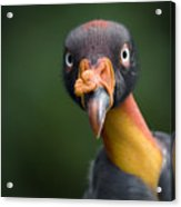 A King Vulture Sarcoramphus Papa Acrylic Print