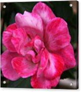 A Knockout Pink Acrylic Print