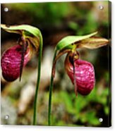 A Lady's Slippers Acrylic Print