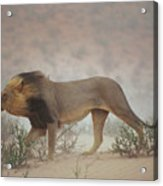 A Lion Pushes On Through A Gritty Wind Acrylic Print