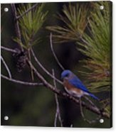 A Little Bluebird Acrylic Print