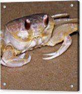 A Little Crabby Acrylic Print