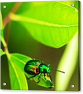 A Little Red Beatle Acrylic Print