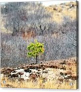 A Lonely Pine Tree Acrylic Print