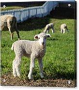 A Longwool Lamb Acrylic Print