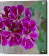 A Magenta Flower Acrylic Print