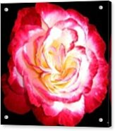 A Magnificent Rose Acrylic Print