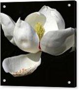 A Magnolia Flower Acrylic Print