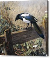 A Magpie Observing Field Mice Acrylic Print