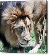 A Male Lion, Panthera Leo, King Of Beasts Acrylic Print