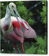 A Male Roseate Spoonbill Is In Breeding Acrylic Print by Joel Sartore