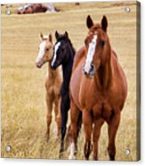 A Mare And Two Friends Acrylic Print