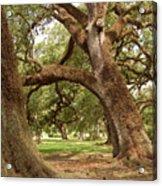 A Maze Of Oak Trees  Acrylic Print