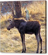 A Moose In Early Spring  Acrylic Print