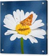 A Moth Collects Pollen On A Single Daisy Blossom. Acrylic Print