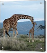 A Mother Giraffe Nuzzles Her Baby Acrylic Print