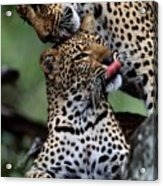 A Mother Leopard, Panthera Pardus Acrylic Print