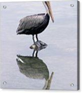 A Noble Bird Is The Pelican Acrylic Print