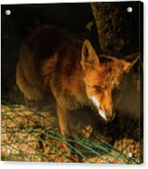 A Nocturne  Meeting With A Fox In The Woodland Acrylic Print