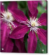 A Pair Of Clematis Flowers Acrylic Print