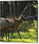 A Pair Of Cow Elk  Acrylic Print