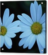 A Pair Of Daisies Acrylic Print