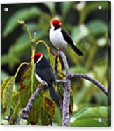 A Pair Of Redheads Acrylic Print
