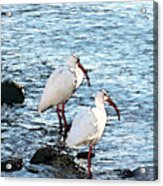 A Pair Of White Isbis Standing In The Shore Acrylic Print