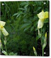 A Pair Of Yellow Bearded Iris 2 Acrylic Print