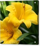 A Pair Of Yellow Day Lilies Acrylic Print