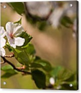 A Panoramic View Of A Cherry Tree Acrylic Print