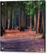 A Path Of Redwoods Acrylic Print