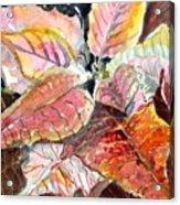 A Peach Of A Poinsettia Acrylic Print
