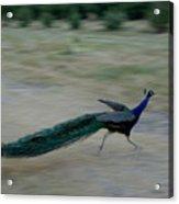 A Peacock On A Hog Farm In Kansas Acrylic Print