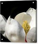 A Peek Inside A Magnolia Acrylic Print