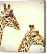 A Perfect Pair- Masai Giraffe Acrylic Print