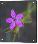 A Perky Little Blossom  Acrylic Print