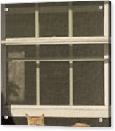 A Pet Cat Resting In A Screened Window Acrylic Print