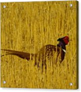 A Pheasant Looking For A Mate Acrylic Print