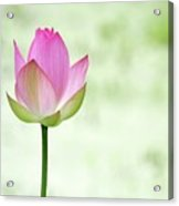 A Pink Lotus Acrylic Print