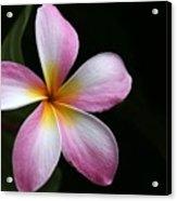 A Pink Plumeria Acrylic Print