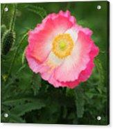 A Pink Poppy Portrait. Acrylic Print