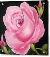A Pink Rose Acrylic Print