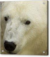 A Polar Bear At The Henry Doorly Zoo Acrylic Print