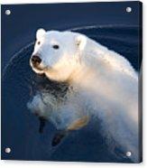 A Polar Bear Glance Acrylic Print by Ira Meyer