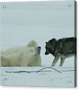 A Polar Bear Lolls On His Back While Acrylic Print by Norbert Rosing